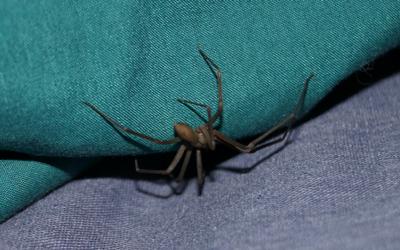 brown_recluse_spider