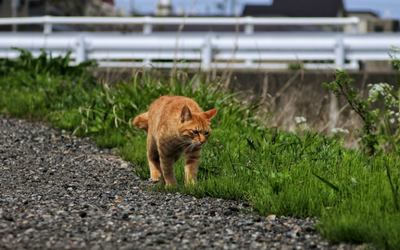fho_surgery_cat_walking