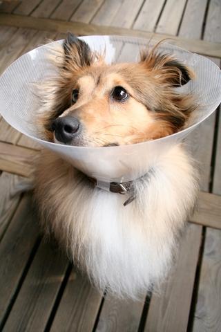 elizabethan_collars_in_dogs__behavior