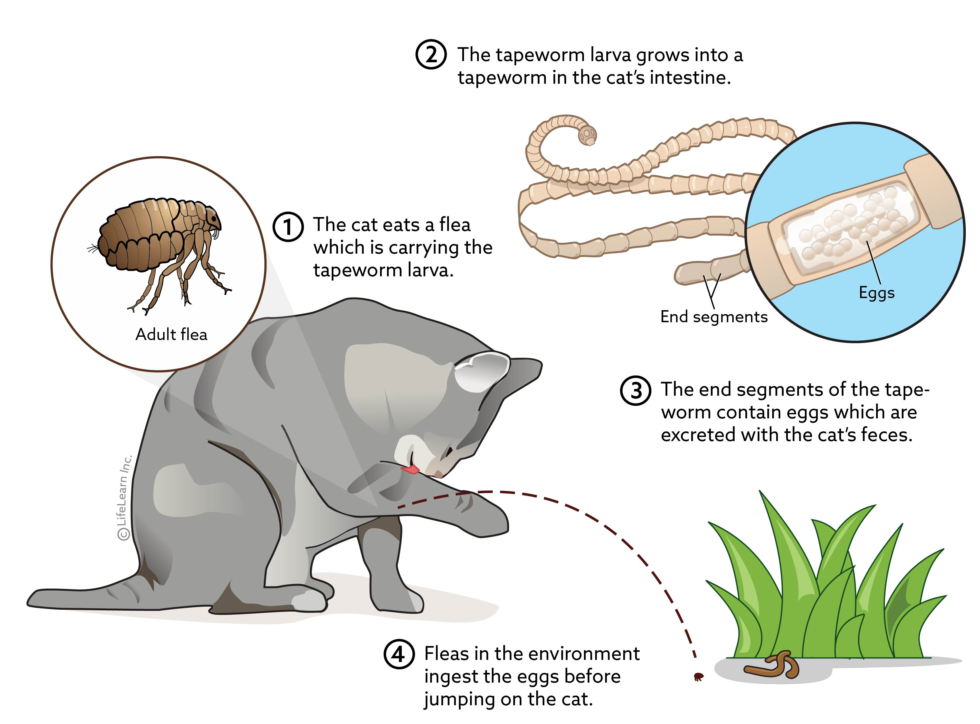 tapeworm_cat_flea_lifecycle_2018-01