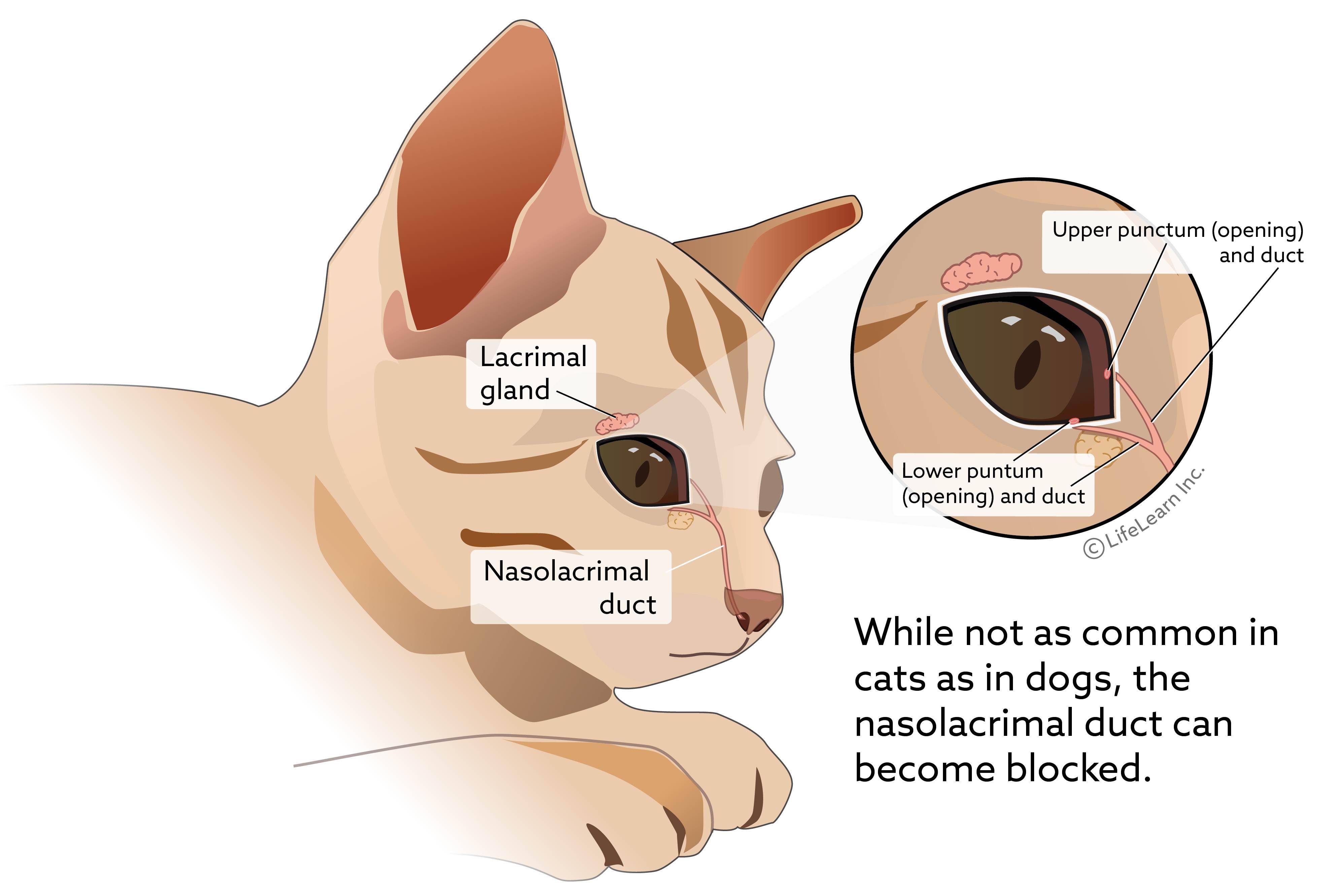 eye_lacrimal_gland2_cat_2018-02