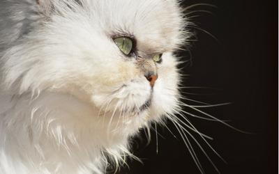 persian_cat_lacrimal_duct_blockage