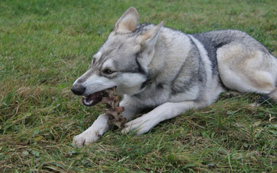 botulism_dogs