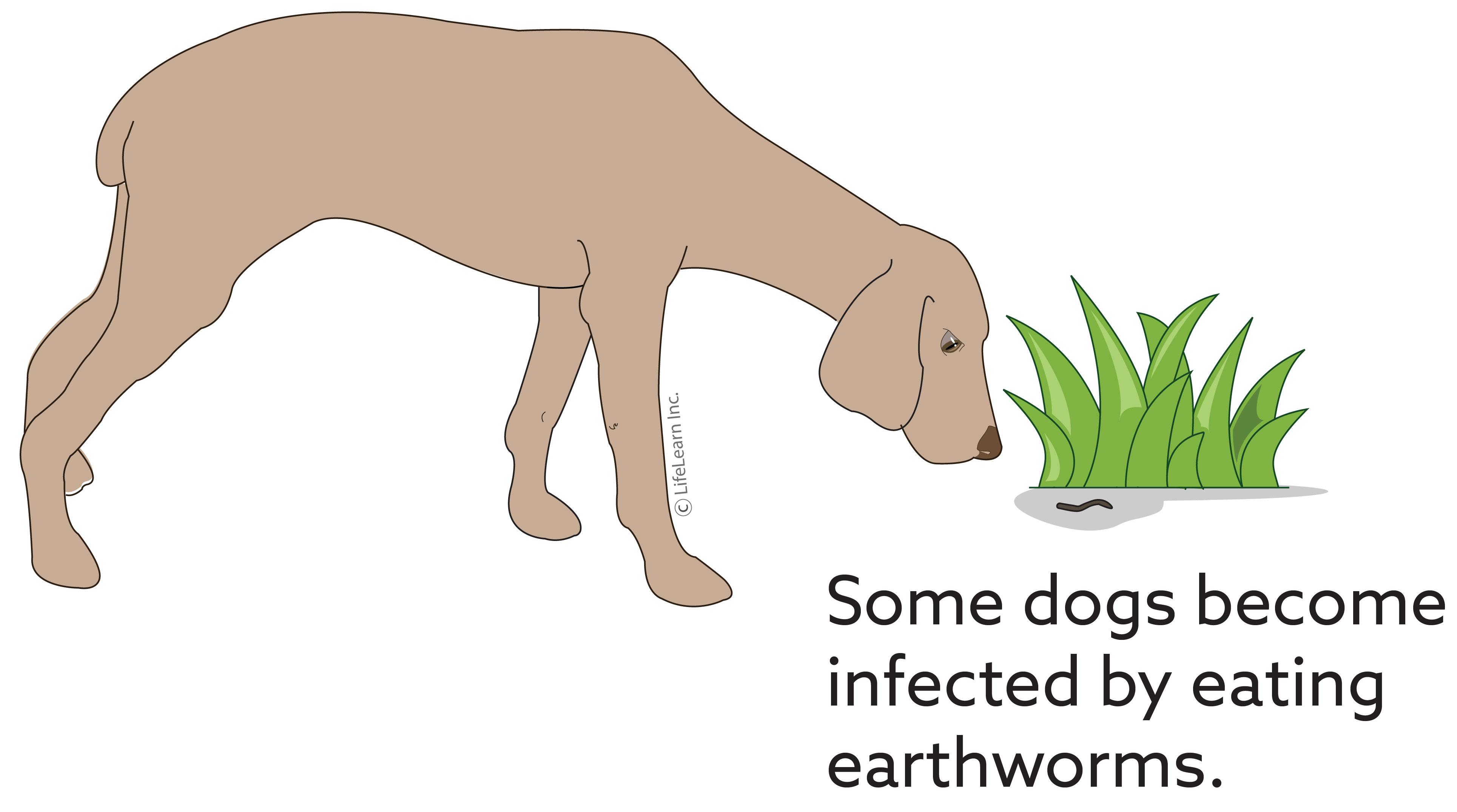 capillaria_dog_earthworm