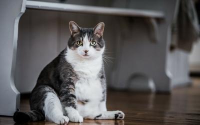avoiding_feline_obesity