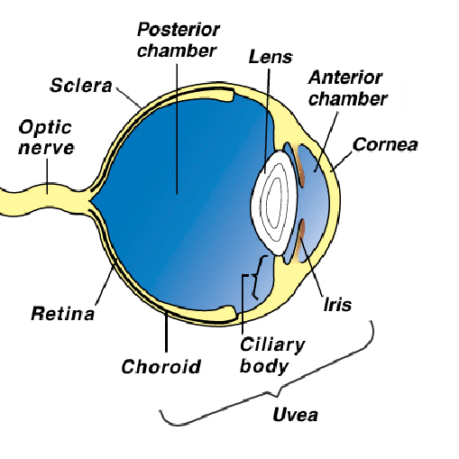 eye_tumors_-_intraocular-1