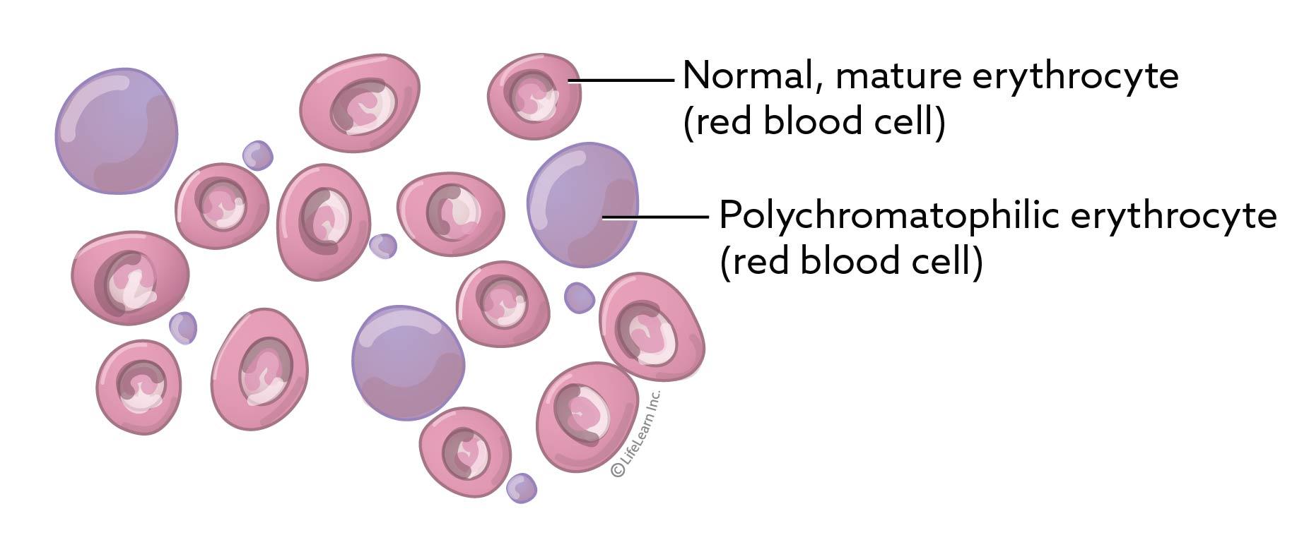 blood_cells_polychromatic_2017-01