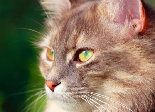 lenticular_sclerosis_in_cats-1