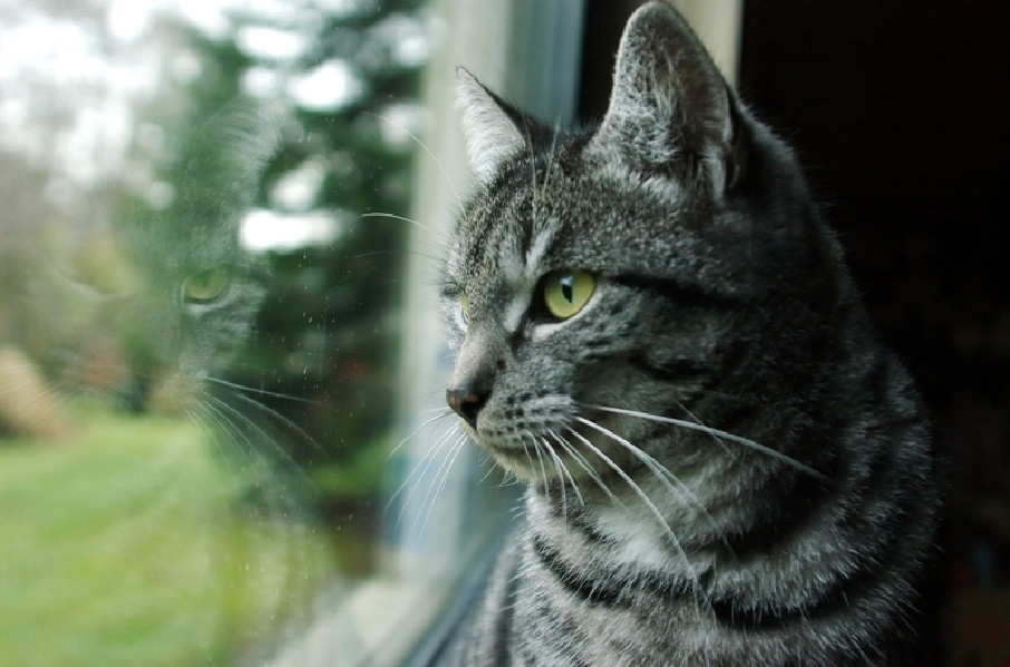 solar_dermatitis_in_cats-1
