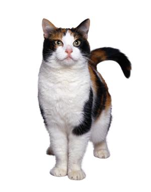 umbilical_hernia_in_cats-2