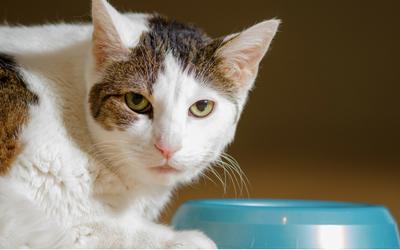 cat_food_bowl_vomiting_in_cat