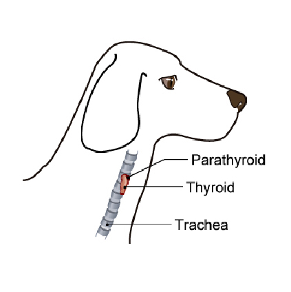 thyroid_hormone_testing_in_dogs-1