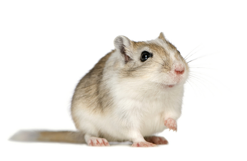 owning_a_pet_gerbil2