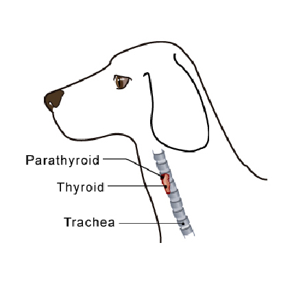 parathyroid_tumors-1