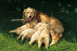breeding6-rearing_puppies_and_care_of_mother-1
