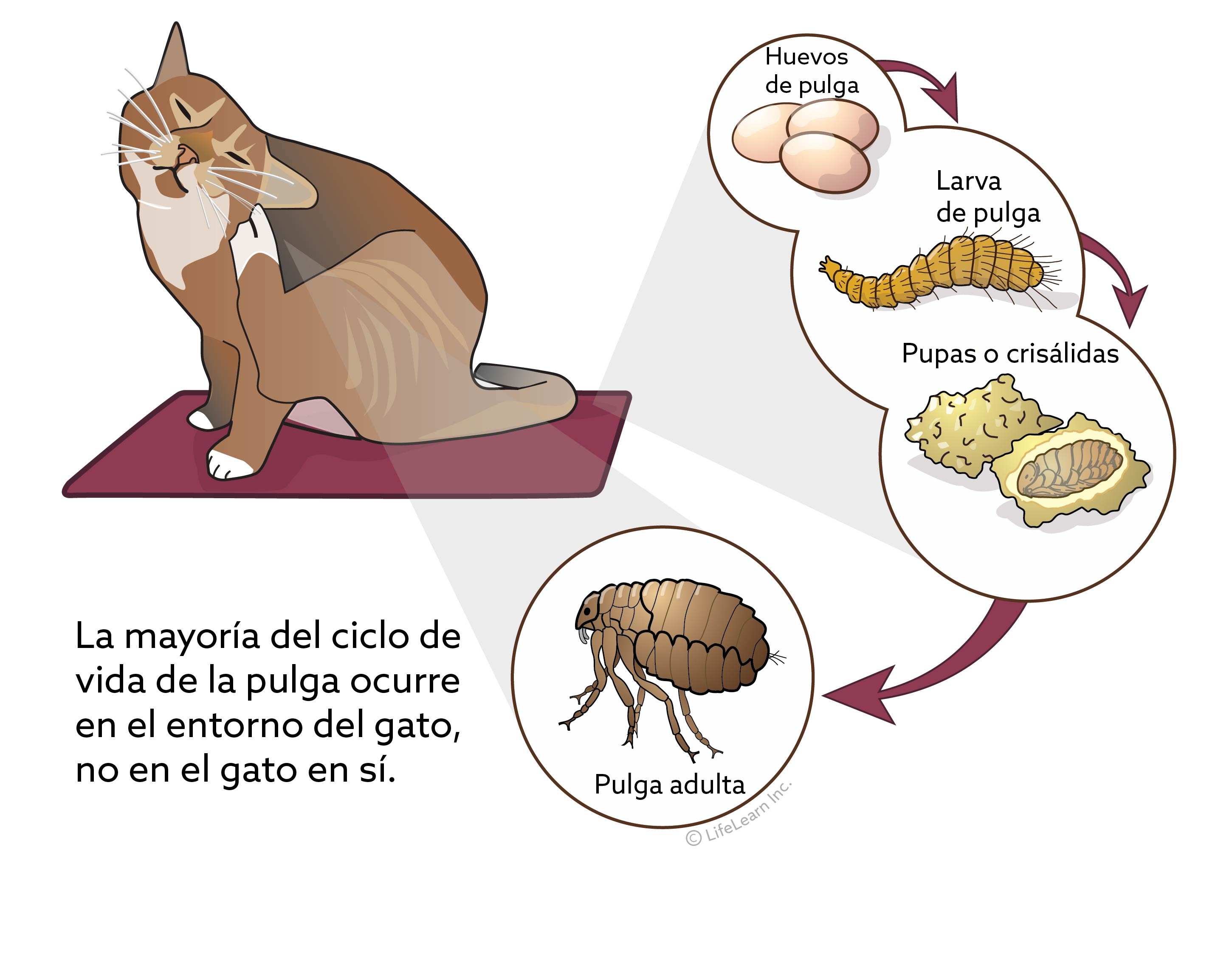 fleas_lifecycle_cat_spanish2017-01