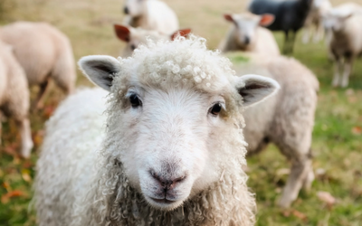 anthrax_cats_livestock_sheep
