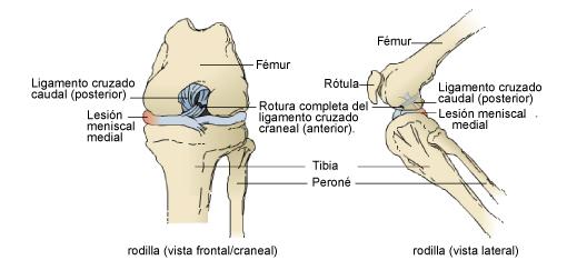 rotura-del-ligamento-cruzado-anterior-en-gatos-3