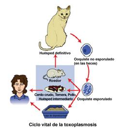 toxoplasmosis-2