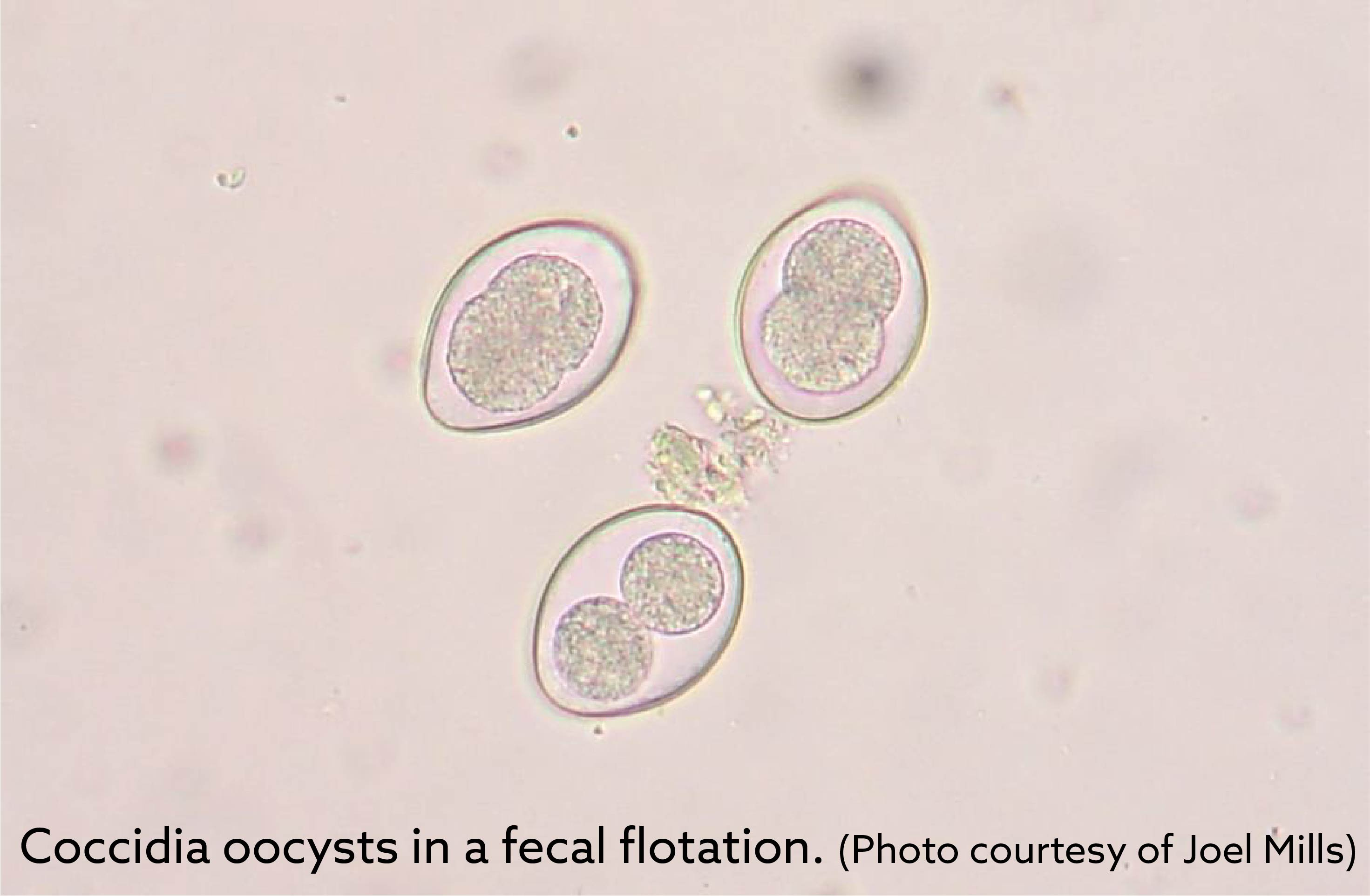 coccidia_oocysts-01