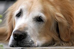 recomendaciones_para_perros_geriatrcos-3