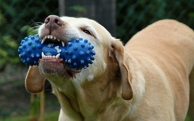 dog_chewing_on_toy_-_teeth