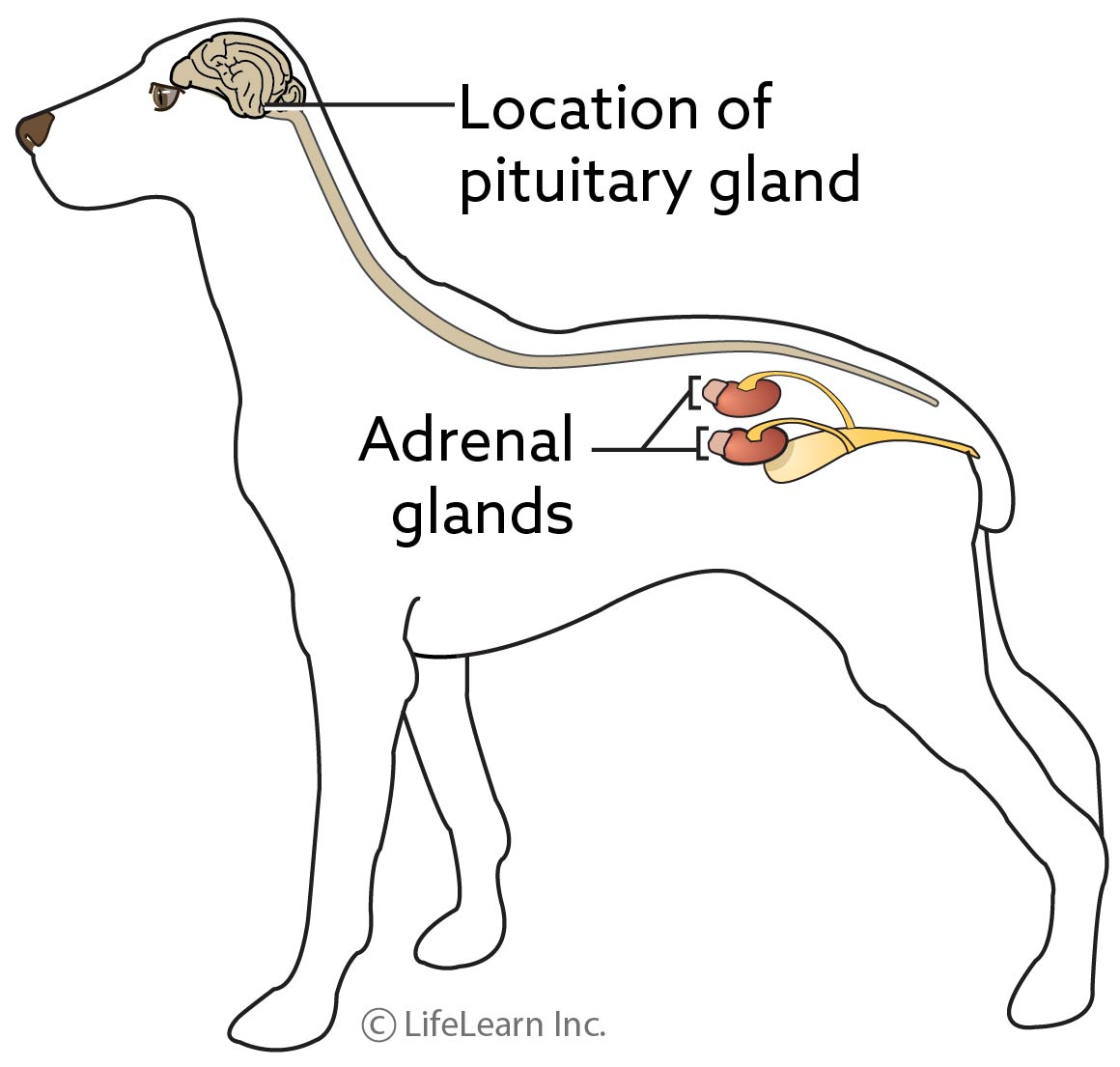 adrenal_gland_updated2017