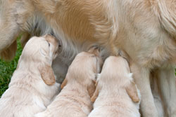 dog---golden-retriever-nursing