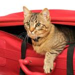 cat---tabby-in-bag