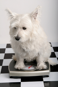 dog_-_white_terrier_on_scale