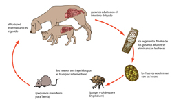 tapeworm-infection3---spanish