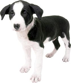 herpesvirus_in_dogs-1_2009