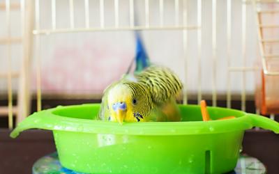 bathing_bird_budgerigar_parrot