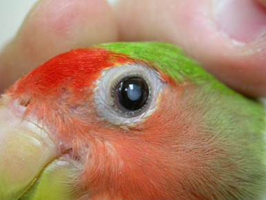 cataracts_in_birds-1