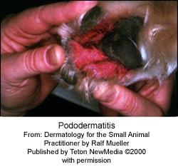 pododermatitis-1_2009