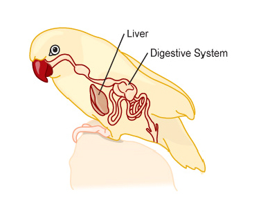 liver_disorders_in_birds-1