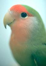 lovebirds_-_feeding-3
