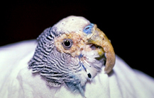 psittacine_beak__feather_disease-1