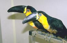 toucans_and_toucanettes-1