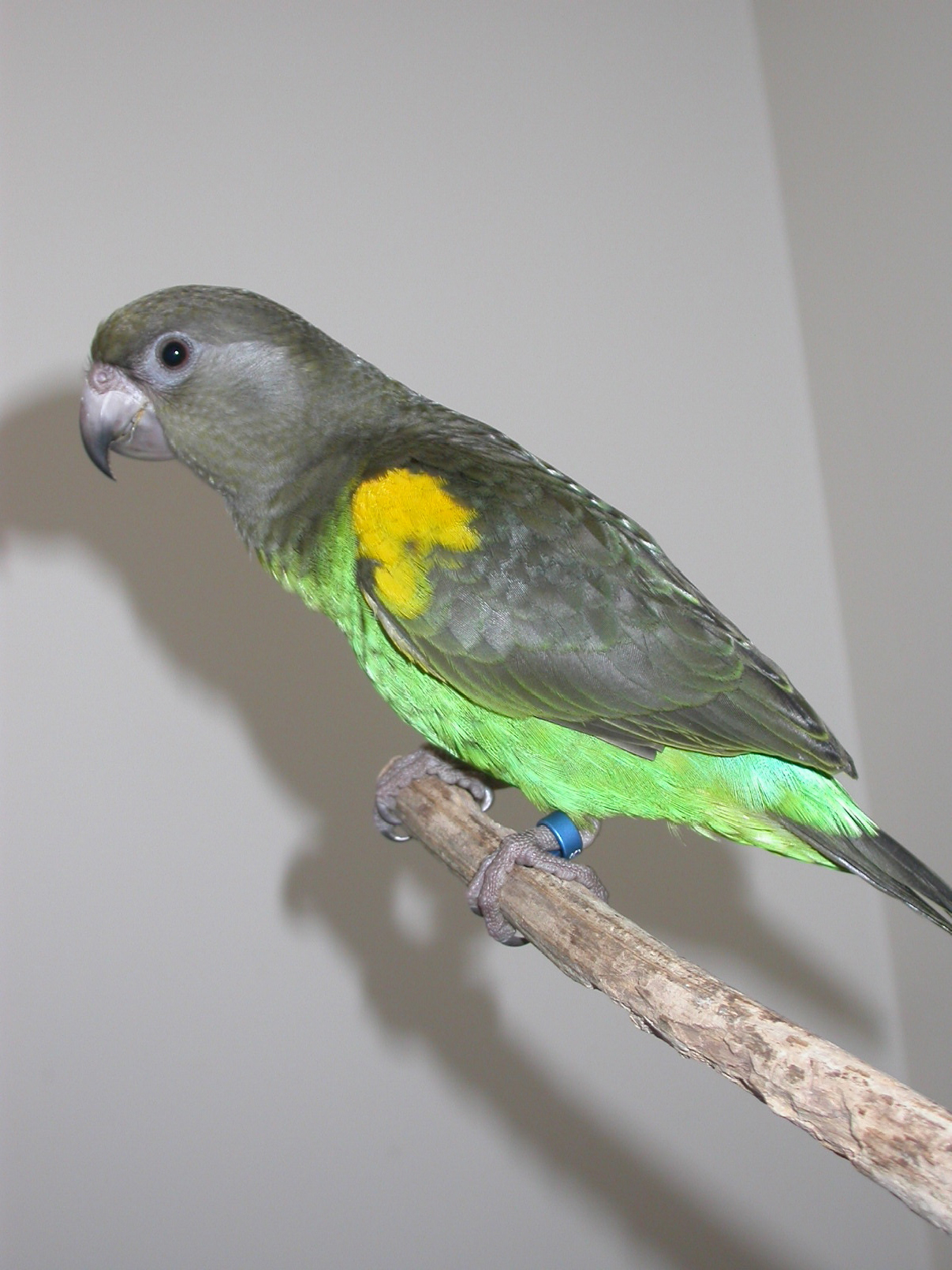 meyers_parrots-1
