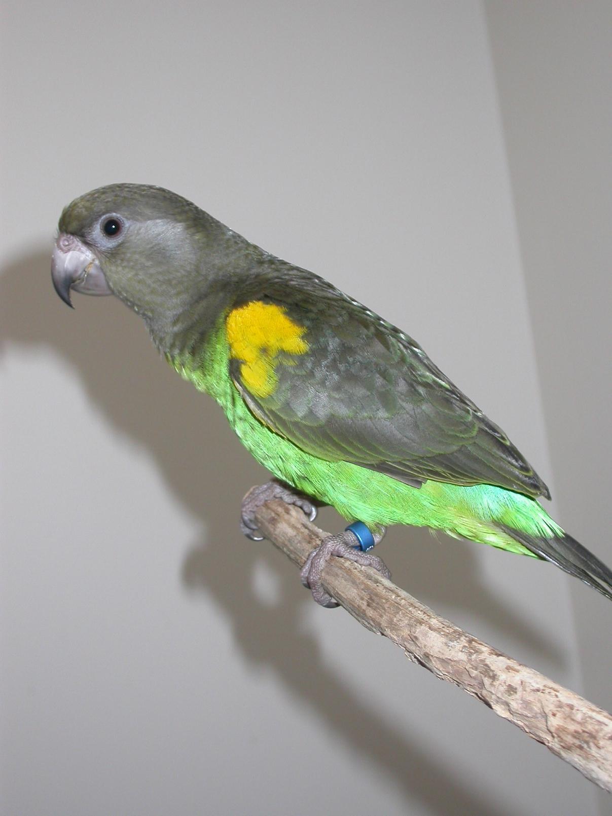 meyers_parrots_-_feeding-1