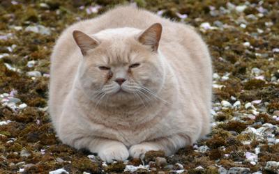 fat_cat