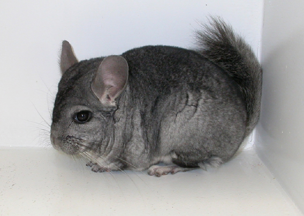 chinchillas-diseases-1