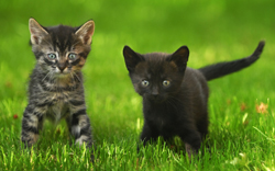 cat_-_black_cat_and_tabby_in_grass_small
