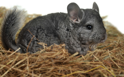 chinchilla_feeding