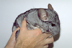 chinchillas-owning-1