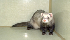 ferrets-diseases-1