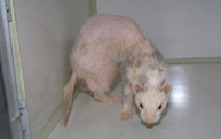 ferrets-diseases-2