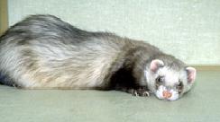 ferrets_-_gastrointestinal_disease-2