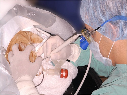 Anesthetized and monitored cat during the oral assessment, treatment, and prevention procedure